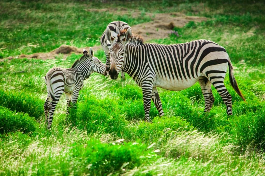 Fossil Rim Texas Zebras
