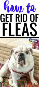 How to get rid of fleas in dogs with English Bulldog sitting in front of fireplace