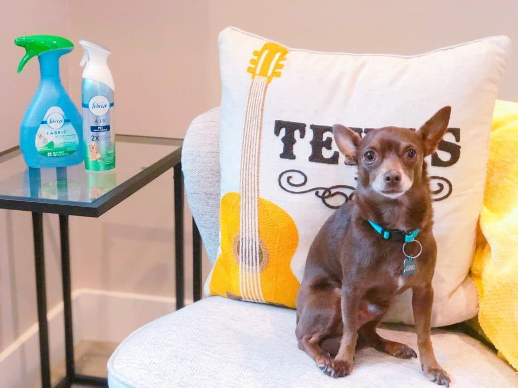 Chihuahua sitting in chair with Febreze in background to get rid of dog smells